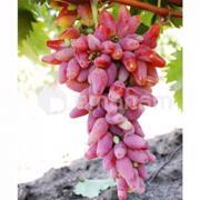 ნერგი ყურძენი Оригинал Decoplant