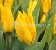 ბოლქვი BES HBM ტიტა Tulipa Yoko Parrot 10/11 5 ც
