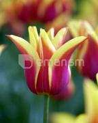 ბოლქვი BES HBM ტიტა Tulipa Ballade Dream 10/11 5 ც