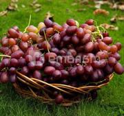 ნერგი ყურძენი ფავორი