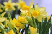 ბოლქვი BUD HBM ნარგიზი Narcissus Tete A Tete 8/10 2 ც
