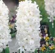 ბოლქვი BUD HBM სუმბული Hyacinthus Carnegie 14/15 1 ც