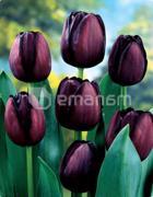 ბოლქვი BES HBM ტიტა Tulipa Queen of Night 10/11 5 ც