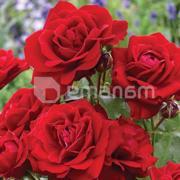 ნერგი ვარდი Avenu Red Decoplant