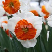 ბოლქვი STA HBM ნარგიზი Narcissus Bella Vista 12/14 5 ც